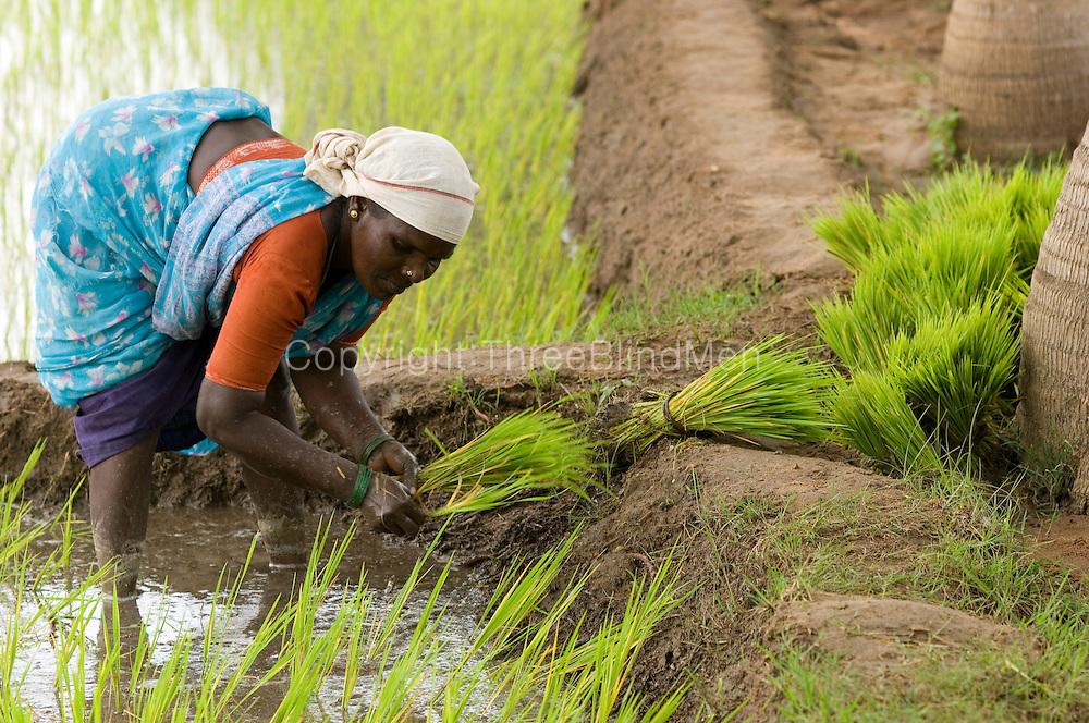 Women working in the rice fields, transplanting paddy. Keezs Koodaloor, Villupuram District.