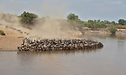 A large group of wildebeests have gathered along the shore of Mara River to drink before they cross the dangerous stream.
