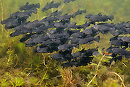 School of Black Bullhead Fry<br />