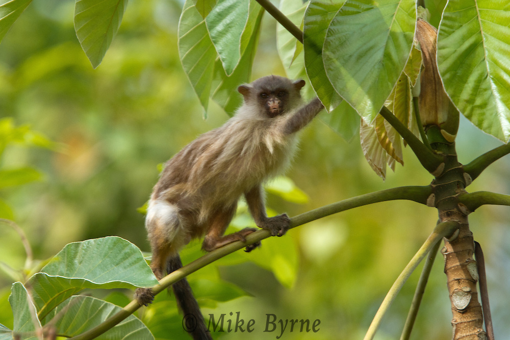Black-tailed Marmoset (Mico melanura) near Araras Eco Lodge (Pantanal, Mato Grosso, Brazil)