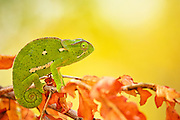 Flap-necked chameleon looking at camera sitting on a branch with autumn orange leaves ready to fall.  Facing camera right, tail visible and curled up. Yellow out of focus background.<br /> <br /> The Flap-necked chameleon (Chamaeleo dilepis), is native to sub-Saharan Africa. It is a large chameleon, reaching 35 cm (14 in). Colouring ranges through various shades of green, yellow, and brown. There is usually a pale stripe on the lower flanks and one to three pale patches higher on the flanks. These chameleons lay 25 to 50 eggs in a hole dug in soil, which is covered over again by the female.