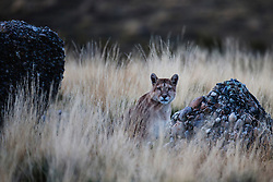 A puma (Puma con color) also known as a mountain lion or cougar,  sitting in tall grass, Patagonia, Torres del Paine, Chile, South America