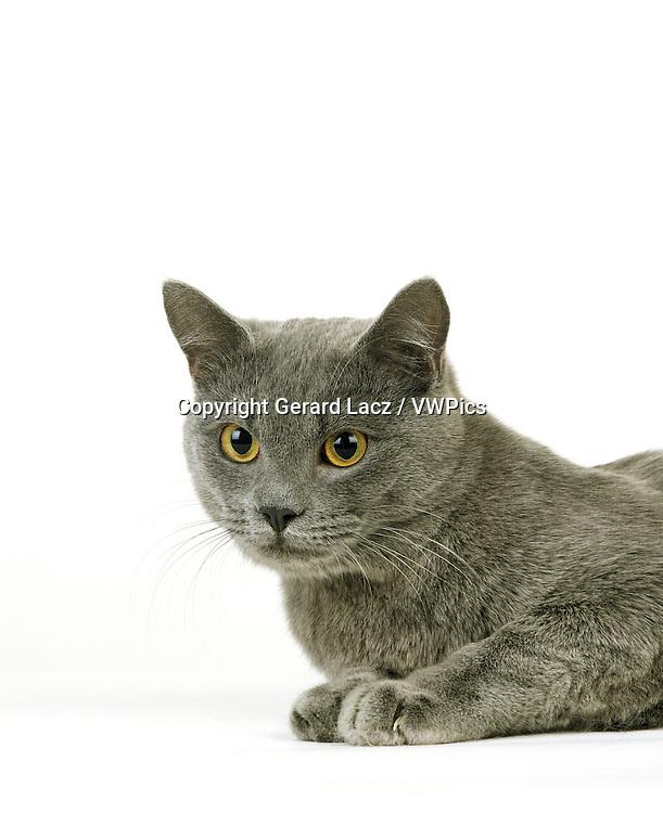 BLUE EUROPEAN DOMESTIC CAT, PORTRAIT OF ADULT AGAINST WHITE BACKGROUND