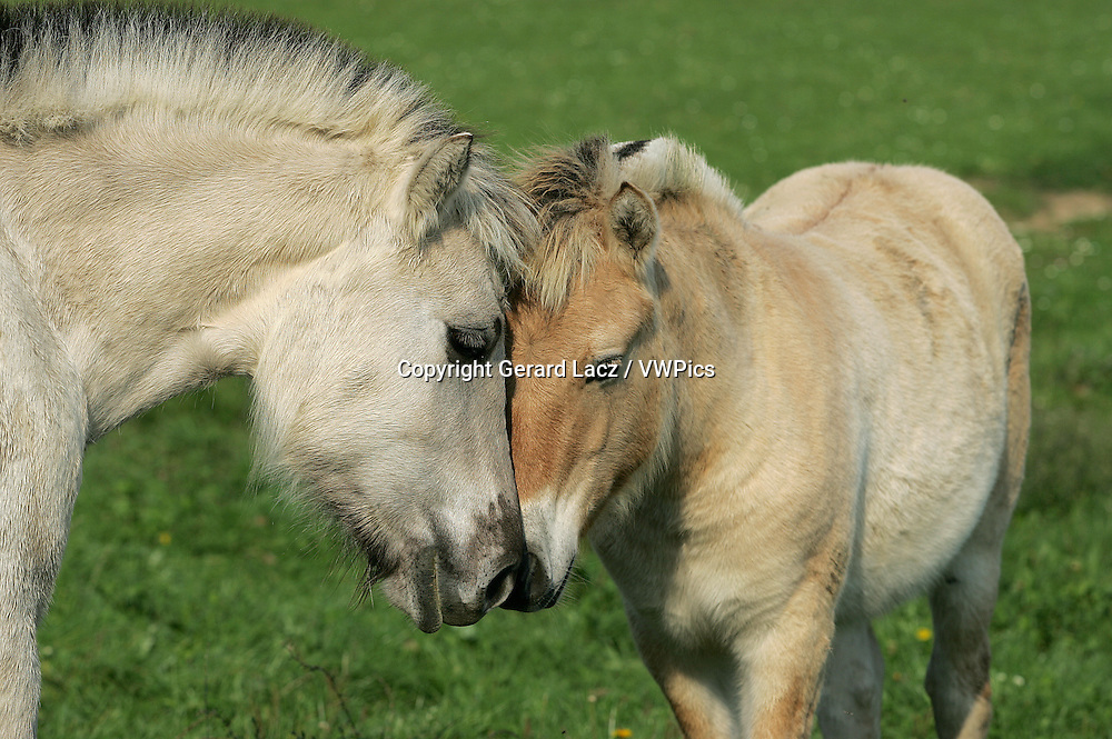 Norwegian Fjord Horse, Mare with Foal