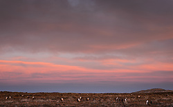 Greater sage-grouse (Centrocercus urophasianus) gather on a lek during an early morning sunrise in south-central Wyoming. <br /> <br /> Greater sage-grouse are a lekking species. They gather at the same lek, year over year, where males put on elaborate mating displays for the attention of females. During courtship strutting displays, the males fan their starburst-like tail feathers behind them. They also make a large popping sound, created when they puff up their chests and inflate and deflate their large yellow throat sacs.  <br /> <br /> Greater sage-grouse are the largest native grouse in North America, typically 30 inches in length and up to 2 feet tall. Males can weigh 4-5 pounds with hens weighing 2-3 pounds They are omnivores, eating primarily sagebrush, other soft plants and insects. Considered a keystone species for the sagebrush ecosystem, greater sage-grouse cannot live in areas without sagebrush.. The ground-dwelling birds are found in the sagebrush ecosystems of the western United States and southern Alberta and Saskatchewan in Canada.<br /> <br /> In 2015, the U.S. Fish &amp; Wildlife Service determined that protection for the greater sage-grouse under the Endangered Species Act was no longer warranted and withdrew the species from the candidate species list.