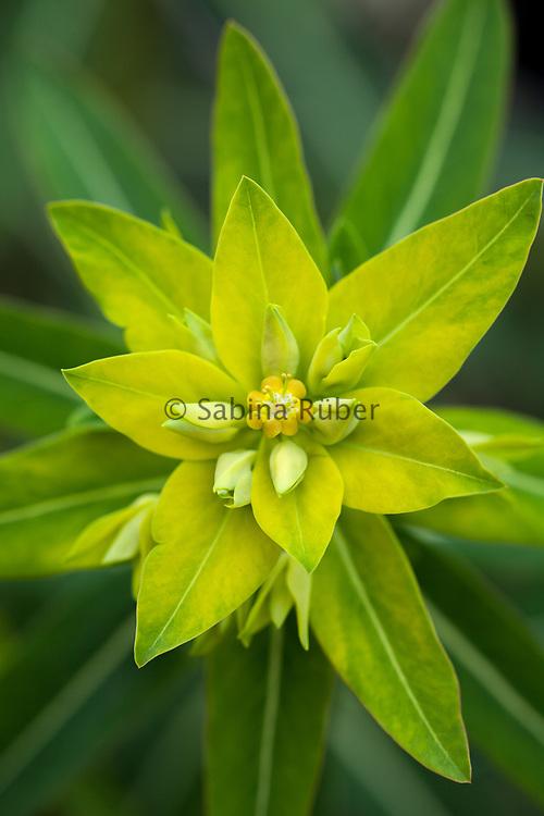 Euphorbia schillingii - Schilling spurge