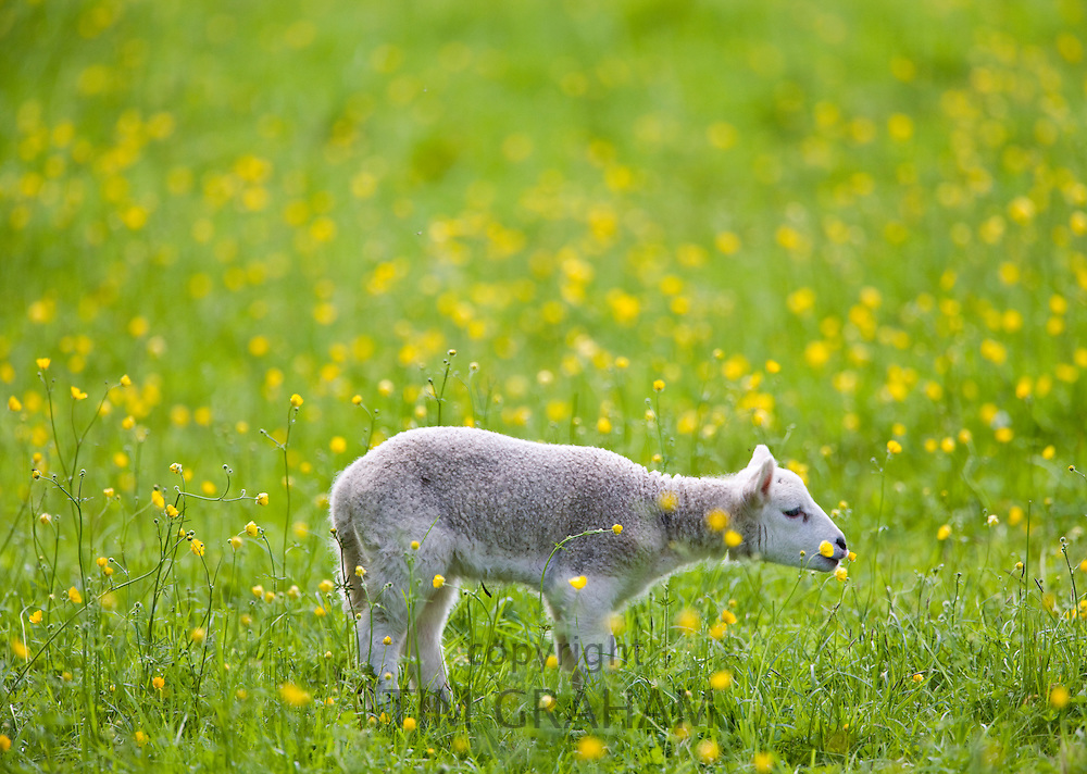 Lamb in a meadow in The Cotswolds, Gloucestershire