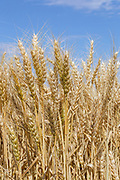 Heads of golden barley in a field before harvesting in rural Jung, Victoria, Australia.