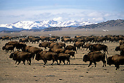 Winter Scenic of a Herd of Bison on the Hartsel Springs Ranch in Hartsel, Colorado...©2002 Todd Powell.Todd Powell Photography.PO Box 4097.Frisco, CO  80443.970-668-2280.www.toddpowell.com
