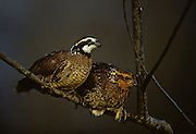 A pair of Bobwhite Quail on branch - Mississippi.