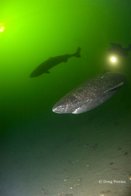 Greenland sleeper sharks, Somniosus microcephalus, and diver, St. Lawrence River estuary, Canada (these sharks were wild & unrestrained; they were not hooked and tail-roped as in most or all photos from the Arctic) MR 374
