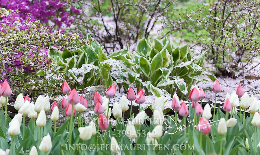 Colorful tulips in bloom in springtime.