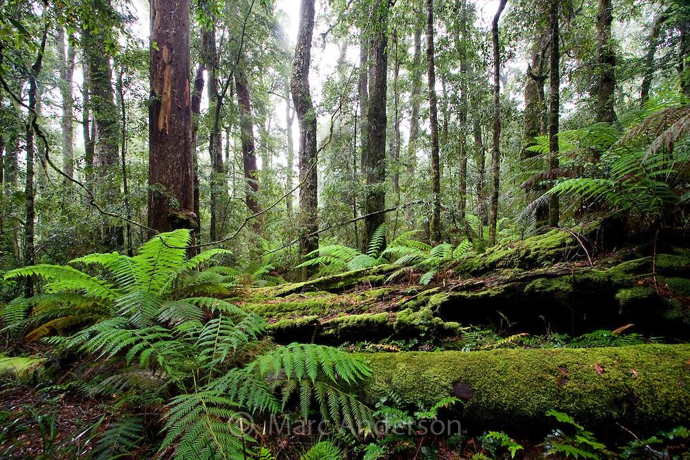 Lush Antarctic beech forest in Barrington Tops National Park, Australia