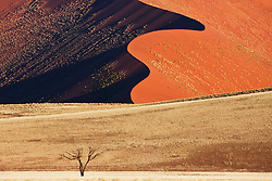 An acacia tree stands alone in a golden plain beneath a red sand dune, near Sossusvlei, Namibia,Africa
