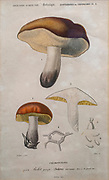 Hand coloured botanical lithograph of Boltus mushroom. Boletus is a genus of mushroom-producing fungi, comprising over 100 species.