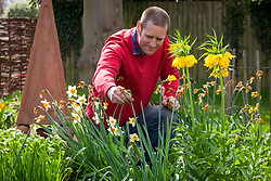 Deadheading daffodils after flowering by removing spent flowers