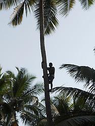 Man climbing coconut palm tree, Little Vagator Beach, Goa.
