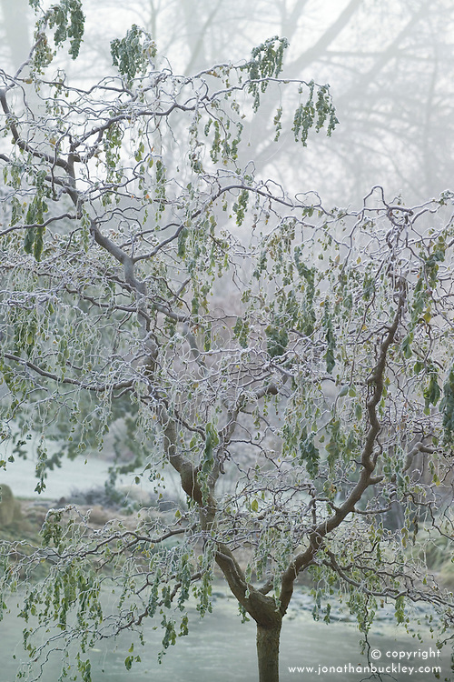 Robinia pseudoacacia 'Twisty Baby' syn. R.p. 'Lace Lady'  on a frosty morning in winter. False acacia, Black locust