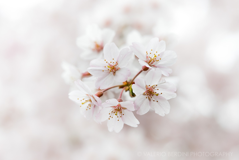 A bunch of cherry flowers stand out of a blossoming tree