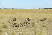 African Wild Dog<br /> Lycaon pictus <br /> On the hunt<br /> Northern Botswana, Africa<br /> *Endangered species