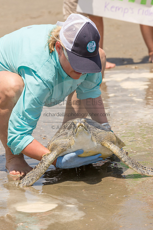 A volunteer prepares to return a rehabilitated Green sea turtles back into the Atlantic ocean during the release of rescued sea turtles May 14, 2015 in Isle of Palms, South Carolina. The turtles were rescued along the coast and rehabilitated by the sea turtle hospital at the South Carolina Aquarium in Charleston.