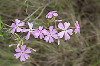 Unusual sighting! A few of these flowers have six petals, and not the typical five! Showy phlox is one of the prettiest and widespread of the native phloxes and can be found from the American Southwest north to British Columbia, and is most often found in rocky sagebrush deserts, open grasslands, dry pine forests, and some mountain forests with lots of available sunlight. Distinctive to this species are the deeply notched pink petals. This one was found growing in Cowiche Canyon, just east of Yakima, Washington.