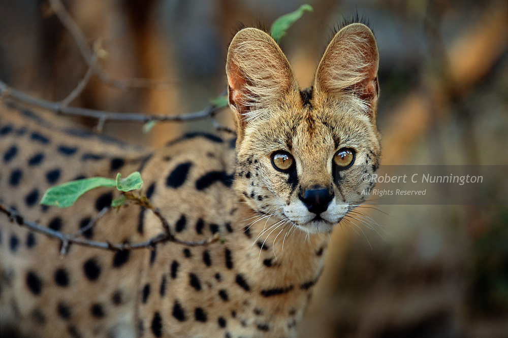 A rehabilitated Serval (Leptailurus serval) showing the charismatic, large, golden eyes of the species. Moholoholo rehabilitation centre, Hoedspruit, South Africa.