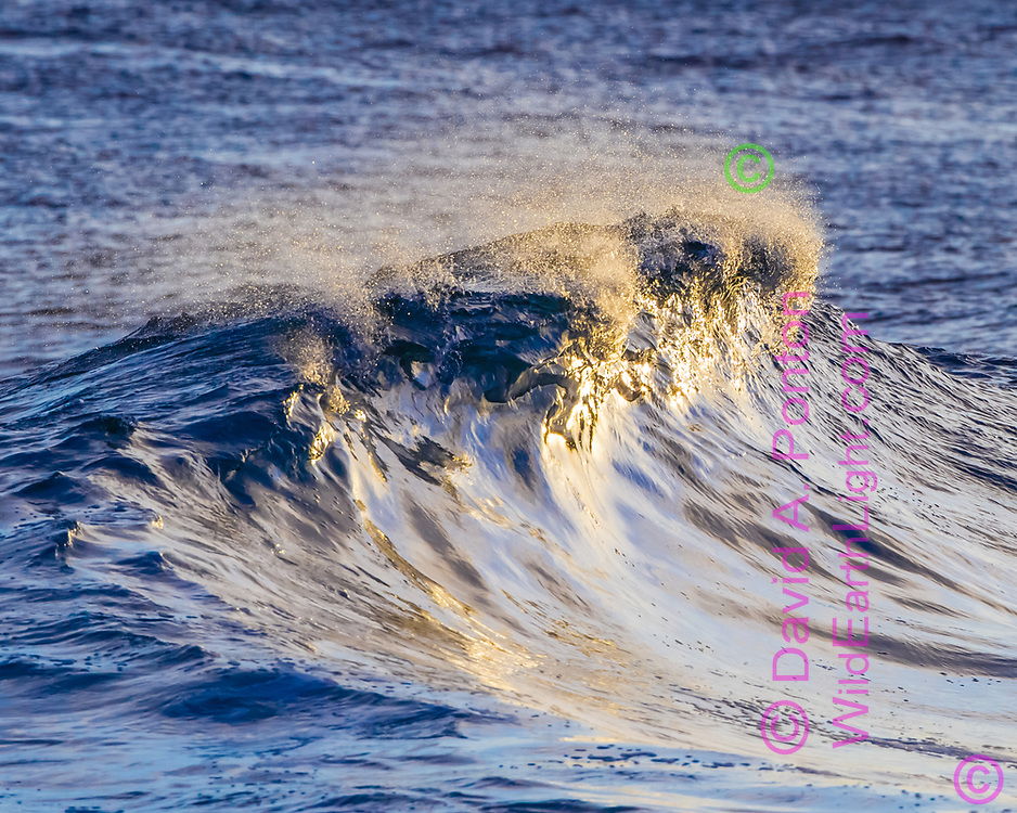 Late sunlight lights the glassy face of a wave just as it starts to break, Kauai, © 2010 David A. Ponton