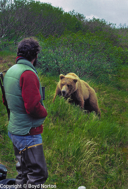 Grizzly bear (brown bear), McNeil River State Game Sanctuary, Kamishak Bay, Alaska. Endangered species. Climate change affecting migration of salmon, primary food source for these bears.