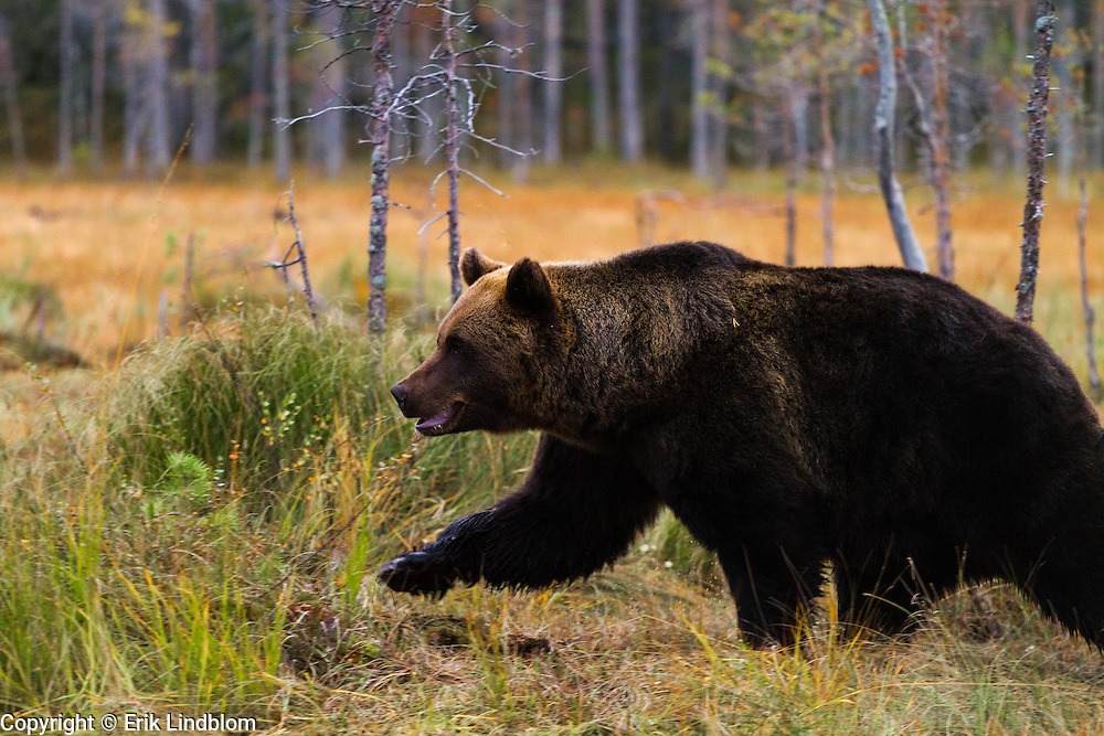 This brown bear is aiming towards a carrion.