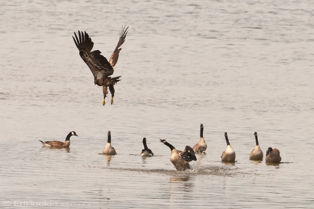 An Immature Bald Eagle (Haliaeetus leucocephalus) that approached the geese flock is harrassed by a Canada Goose (Branta canadensis) in the waters of Hood Canal in Puget Sound, Washington state, USA.