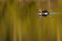 Red-throated diver (Gavia stellata) adult in breeding plumage, Bergslagen, Sweden.