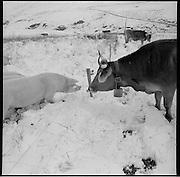 Schweine und Kühe im Schnee. Wintereinbruch auf der Alp. Schnee im  August ist keine Seltenheit. Alp Bregalga, Graubünden. © Romano P. Riedo