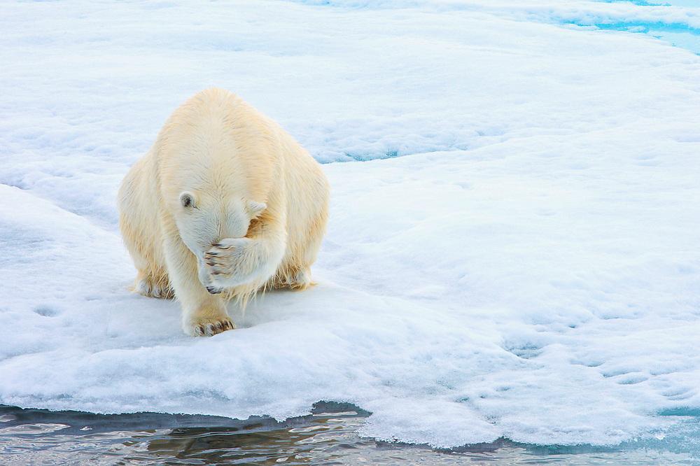 Polar Bear, Arctic, Svalbard