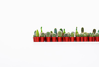 Large group of cactuses in red pots white background