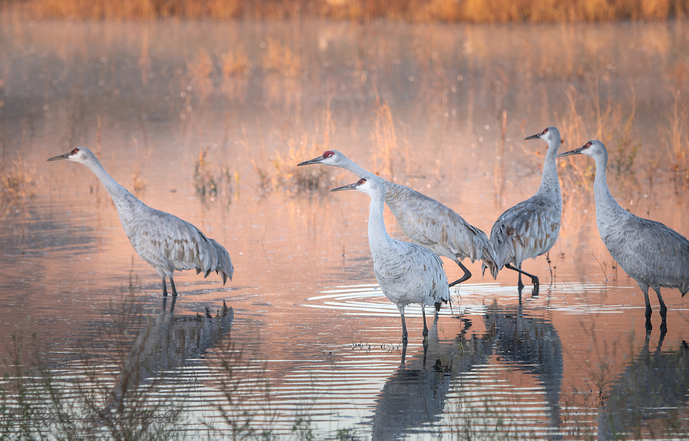 Glowing morning light surrounds this small flock of Sandhill Crane as two members stretch their body in the direction they plan to take off to the feeding fields.