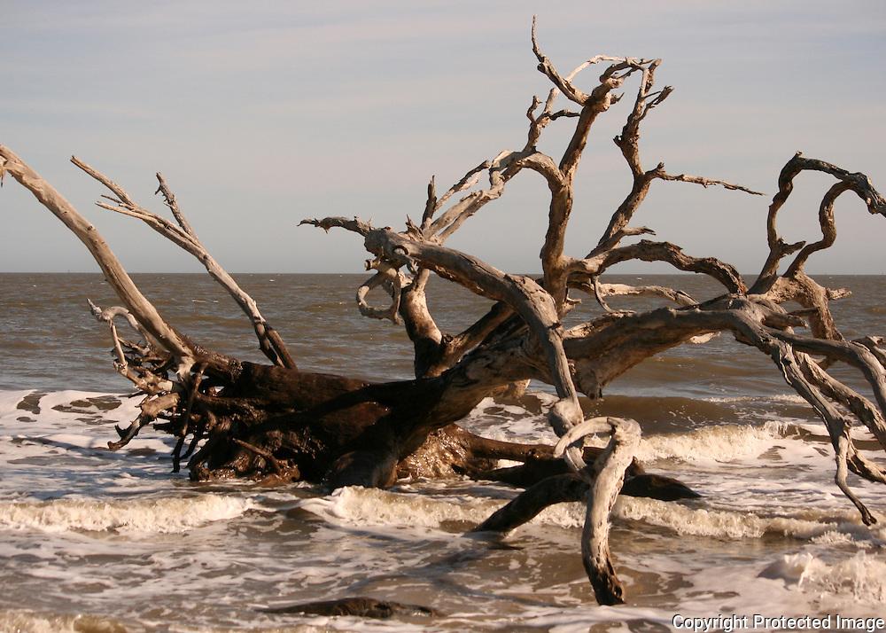 Dead, salt petrified, driftwood tree in the surf on Driftwood Beach, Jekyll Island.