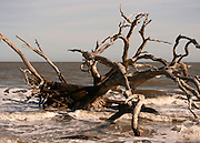 Dead, salt petrified, driftwood tree in the surf on Driftwood Beach, Jekyll Island.