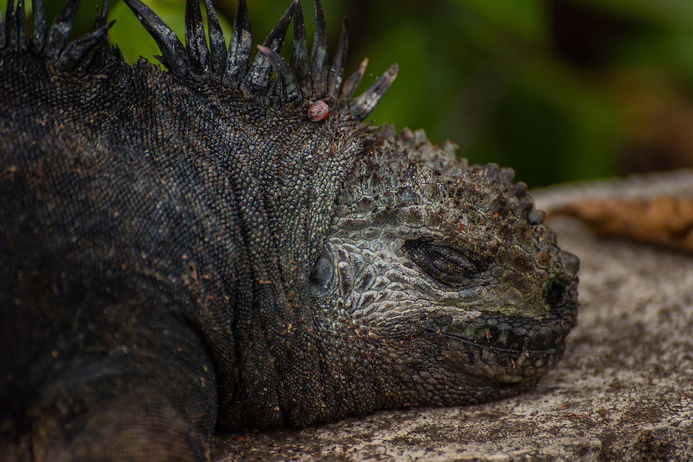 A big marine iguana is taking a nap on a rock, Santa Cruz, Galapagos, Ecuador.