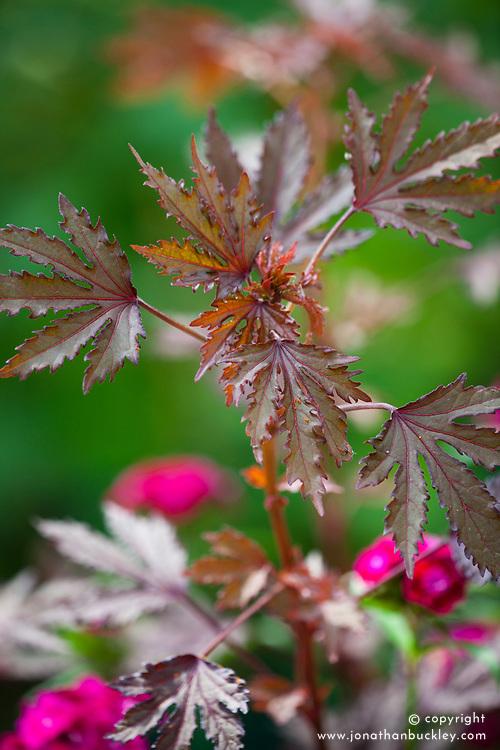 Hibiscus 'Mahogany'