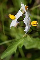 Carolina Horse Nettle, (Solanum carolinense), Houston County, Texas