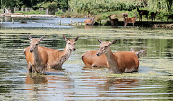 © Licensed to London News Pictures. 23/06/2017. Surrey, UK.  Deer cool off in the water at Bushy Park in Surrey today 23rd June 2017.  Photo credit: Stephen Simpson/LNP