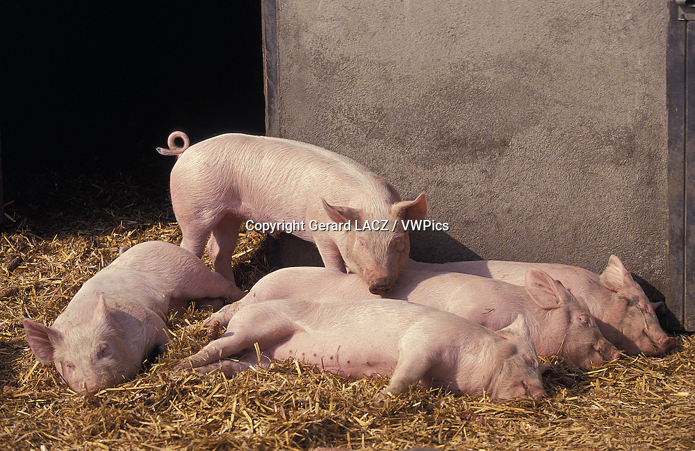 Large White Domestic Pig,  Piglets