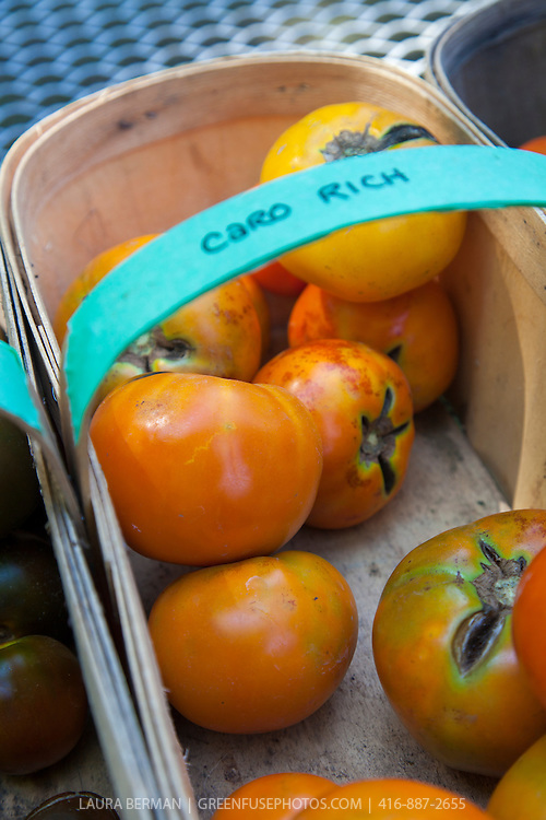 A basket of 'Caro Rich' heirloom tomatoes