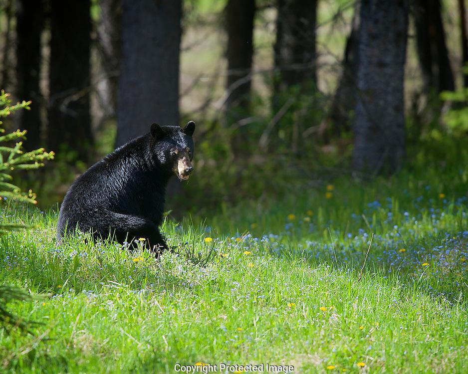 Black Bear. (Ursus americanus), British Columbia, canada,