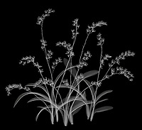 X-ray image of a Lava Burst orchid clump (Howeara 'Lava Burst', white on black) by Jim Wehtje, specialist in x-ray art and design images.