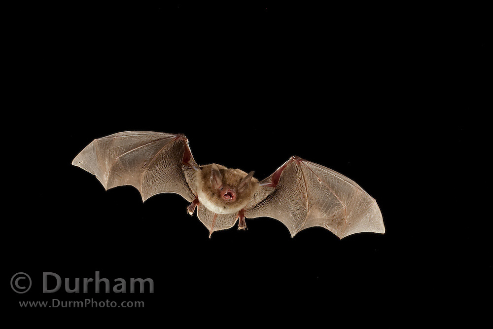 A southeastern myotis (Myotis austroriparius) flying at night. Big Thicket National Preserve, Texas.