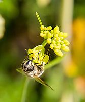 HALFWEG -  Blinde BijEristalis tenax . Wilde bloemen op de baan van de   Amsterdamse Golf Club   COPYRIGHT KOEN SUYK