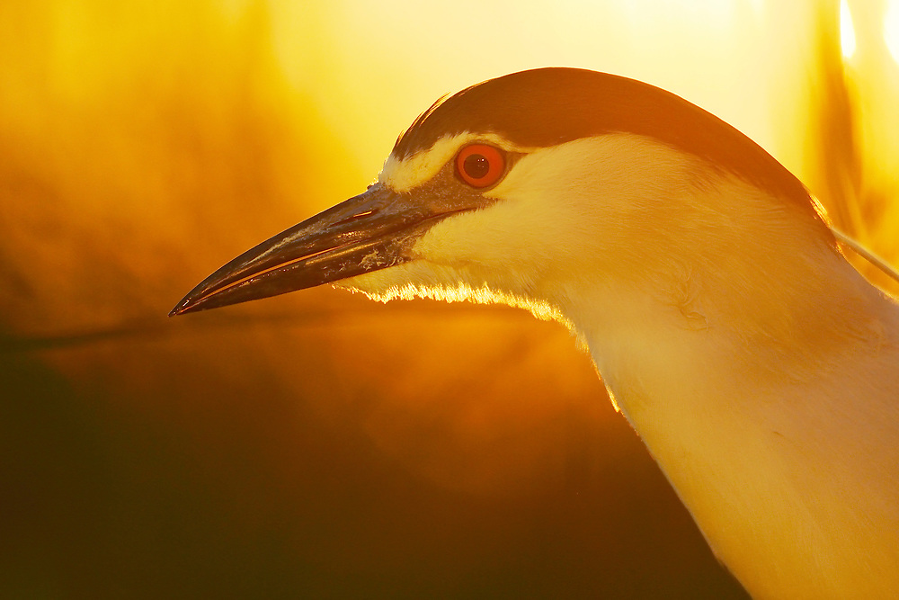 Black-capped Night heron, Nycticorax nycticorax, feeding on cyprionid fish/carp species in fish farm pond, Pusztaszer protected landscape, Kiskunsagi, Hungary
