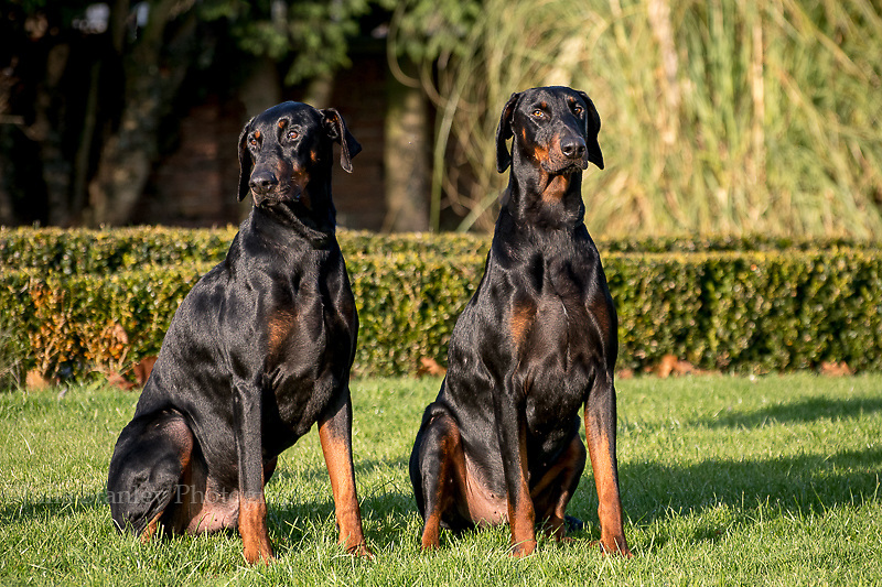 Two male Doberman dogs photographed in garden. Late autumn.